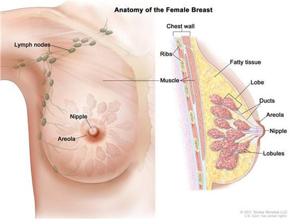 Breast Anatomy-Novena Cancer Centre