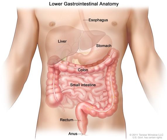 Colon Anatomy-Novena Cancer Centre